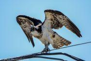 ospreyoyster_10