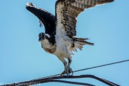 ospreyoyster_11