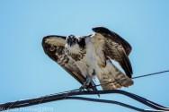 ospreyoyster_8