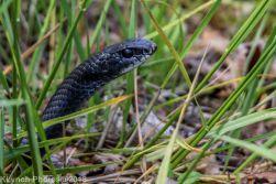 snake_16