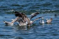 gulls_25
