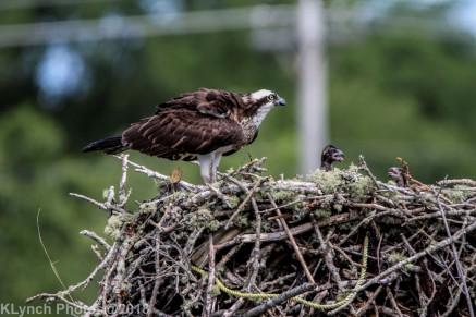 ospreychicks_23