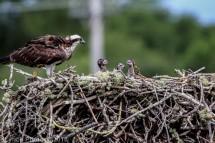 ospreychicks_29