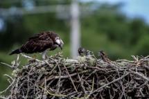 ospreychicks_35