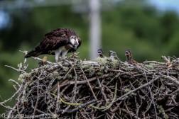ospreychicks_37