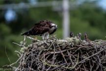 ospreychicks_43