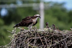 ospreychicks_53