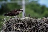 ospreychicks_55