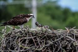 ospreychicks_58