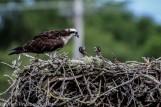 ospreychicks_61