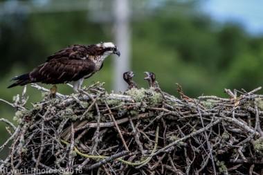 ospreychicks_68