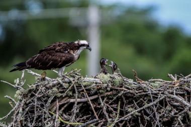 ospreychicks_71