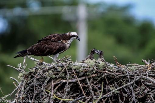 ospreychicks_72