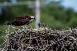 ospreychicks_78