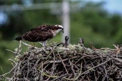 ospreychicks_81