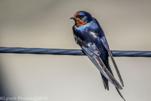 swallow_1