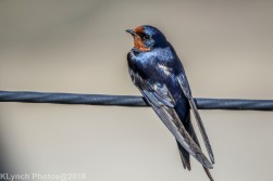 swallow_5