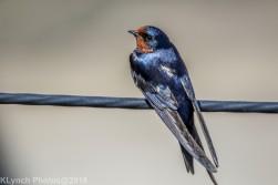 swallow_5