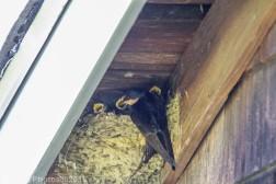 barnswallow_10