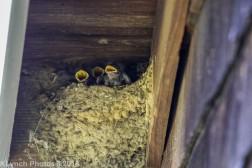 barnswallow_22