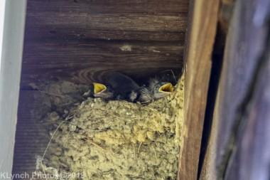 barnswallow_24