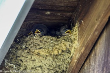 barnswallow_26