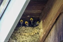 barnswallow_3
