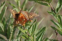 butterflies_3