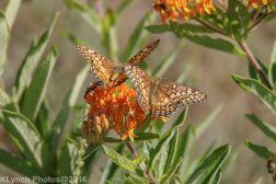butterflies_4