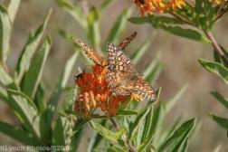 butterflies_5