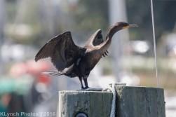 cormorant_28