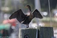 cormorant_30