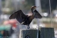 cormorant_32