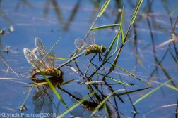 dragonflies_13
