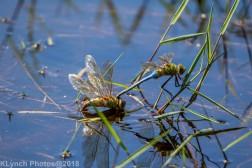 dragonflies_16