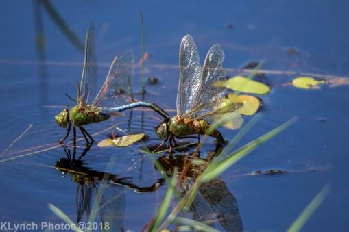 dragonflies_22