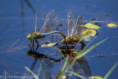 dragonflies_24