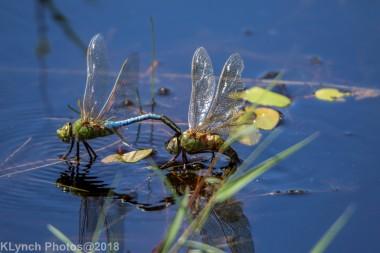 dragonflies_25