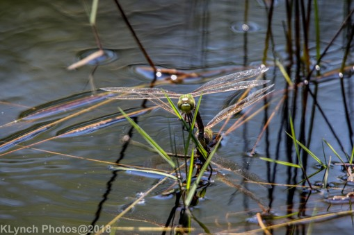 dragonflies_28