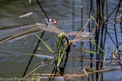 dragonflies_33