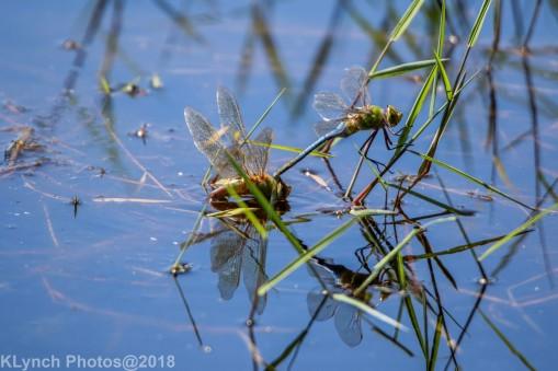 dragonflies_4
