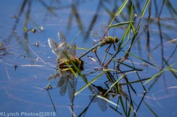 dragonflies_6