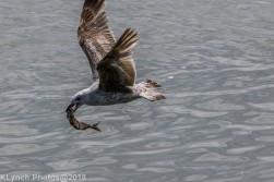 gull_11