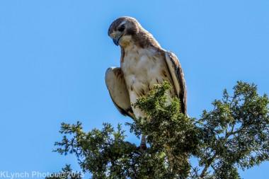 Hawk_32