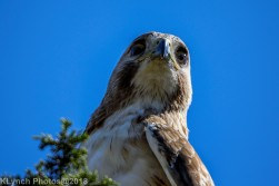 Hawk_51