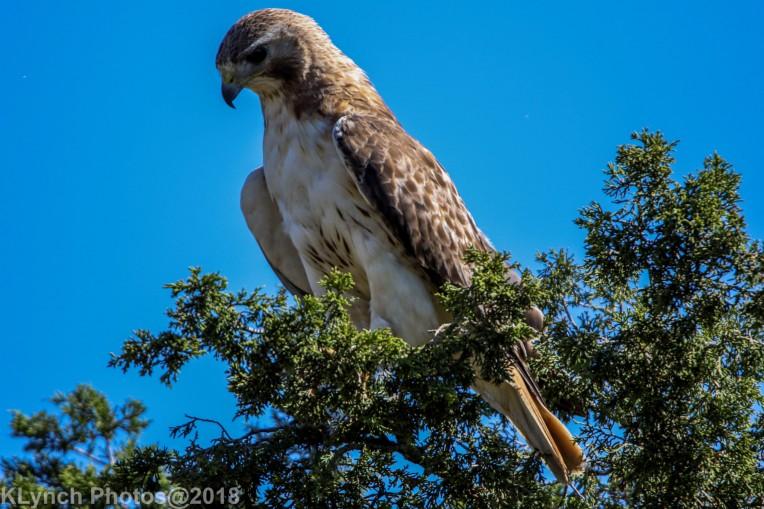 Hawk_53