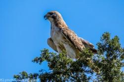 Hawk_6