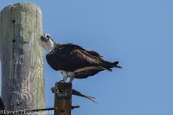 osprey_21