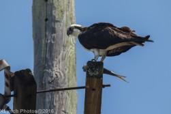 osprey_24