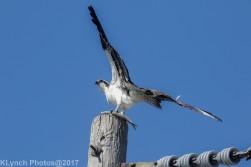 osprey_67